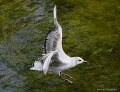 Black headed gull (Edgar Pinelo) Tags: black birds gull headed