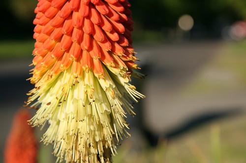 Kniphofia Flower