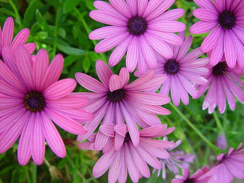 Spanien - Blumen - African Daisy -  Cape Daisy - Osteospermum