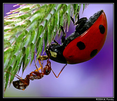 The Argument (mplonsky) Tags: macro nature face animal closeup lady bug insect eyes bravo ant extreme topv999 beetle insects argument ladybird ladybug fv10 animalplanet topf200 aphid outpost macroextreme cotcmostfavorited magicdonkey instantfave outstandingshots flickrsbest specnature selectedasthebest plonsky spselection specanimal mywinners abigfave outstandingshotshighlight anawesomeshot specinsect lmaoanimalphotoaward top20red elegantgroup macrofoted akassignmentvibrancy betterthangood macrolife world100f ahqmacro capturethefinest redmatrix extremeaward