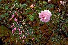 Pink Rose! (maginoz1) Tags: rose yello red pink abstract art manipulate flowers flora summer december 2016 bullarosegarden melbourne victoria australia canon g3x