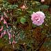 Pink Rose!