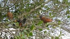 Turdus migratorious --   Robins 092 (2) (Tangled Bank) Tags: wild nature natural alachua county florida tree spanish moss flower bird turdus migratorius robins cnty 091 2