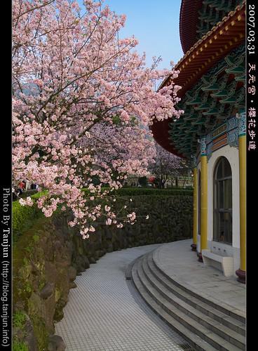 天元宮‧櫻花步道