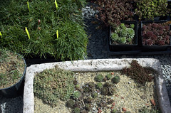 Trough Garden and Rock Garden Plants, Gowanus Nursery