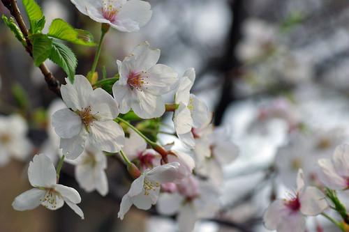 Sakura 2007 02