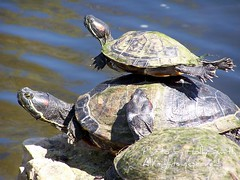 Turtle Tower (Lerxst Ohio) Tags: tower nature water goofy kodak turtle turtles piggyback animalplanet dx6490 sunning coxarboretum lmaoanimalphotoaward