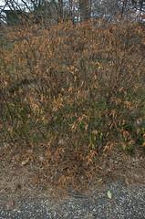 Dyer's Broom? Genista tinctoria
