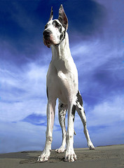 The Bodhisattva (Nick  Carlson) Tags: pictures dog pet pets dogs photography photo bigdogs photos pics carlson nick picture pic greatdane harlequin sanpedro showdogs largebreed cabrillobeach losangelesport nickcarlson truelifeimages harborarea nickcarlsonphotography