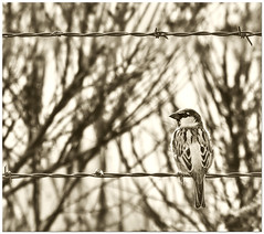 Olde Worlde Sparrow (Fort Photo) Tags: blackandwhite bw bird nature birds animal manipulated antique wildlife birding sparrow ave housesparrow processed ornithology avian olde 2007 lucisart antiqued outstandingshots artlibre anawesomeshot impressedbeauty ultimateshot diamondclassphotographer
