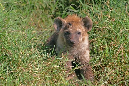 Hyäne Joe statt Eisbär Knut