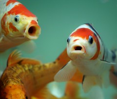 """Hey! Hey, you!""...""Wha...what?"" (edwindejongh) Tags: fish nemo goldfish singing explore pairs openmouth talking fishes poisson vis vissen talkingfish openmouths goudvissen supershot edwindejongh edwindejonghfotografie fotografieedwindejongh pratendevissen"