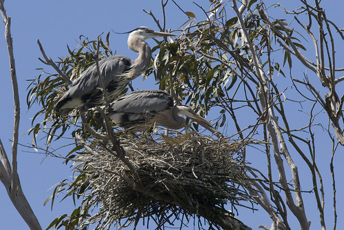 Great Blue Heron pair preparing a nest (bird), at the Morro Bay, CA, Heron Rookery