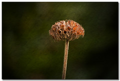 The last one..... (borealnz) Tags: autumn flower bravo searchthebest quality seedhead magicdonkey outstandingshots superaplus aplusphoto isawyoufirst goldenphotographer borealnz