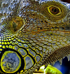 Slitherin (Stuck in Customs) Tags: blue color detail colors animal yellow tongue danger reflex dangerous eyes perfect colorful reptile details d2x harrypotter insects meat lizard iguana malaysia ready kualalumpur awake poison fabulous capture predator creature exciting combination carnivore poisonous flys voldemort highquality dangers chickeneyes focuspocus2