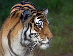 San Francisco Zoo Tiger (Cal Bear 94) Tags: sanfrancisco beautiful animals zoo fierce tiger majestic aplusphoto msanimal