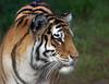 San Francisco Zoo Tiger (Cal Bear 94) Tags: sanfrancisco beautiful animals zoo fierce tiger majestic aplusphoto msanimal