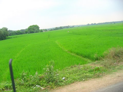 The Green, green fields of home...
