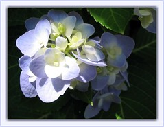 Newly bloomed Blue Hydrangea