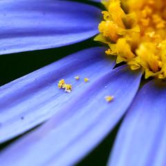 773 (saul gm) Tags: flower macro bravo flor polen daisy margarita explore3 flowerotica saúlgm aplusphoto ltytr2 ltytr1 youvsthebest greatflowermacros lfs042007 superaplus a3b goldwildlife thepinnaclehof