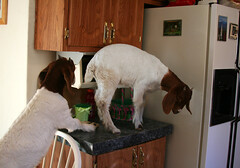 Just wait until your father gets home!! (Boered) Tags: kitchen kids naughty babies counter bad goats naomi omg marvin bigtrouble boergoats ilovegoats abigfave bottlebabies