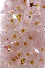Sakura (Proggie) Tags: pink flowers closeup cherry blossom sakura