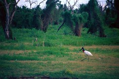 A Yabiru & a swamp (Ostrosky Photos) Tags: red white black bird argentina birds animal animals big legs swamp wetlands species chaco stork jabiru baado yabiru