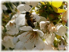 my garden1 (Haakon von Martinsky) Tags: flowers garden spring flora bee insekt cherrytree biene nektar wiosna kwiat owad pszczoa ogrd czerenia slavko6591