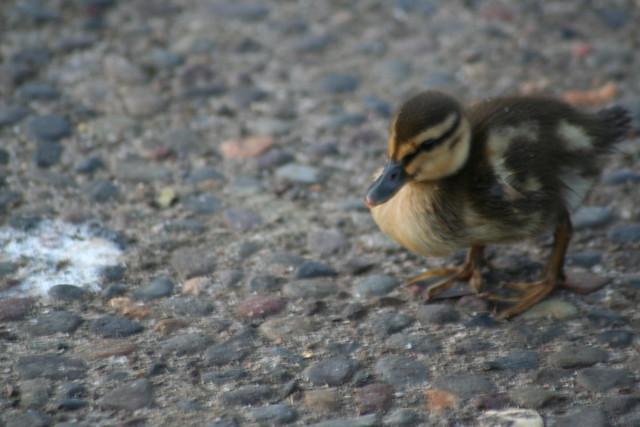 Baby Duck?