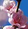 Pink flower on blue sky... (maya_dragonfly) Tags: pink flower macro nature catchycolors garden flora nikon pinkflower botany peachtree blossomtree peachflower flowerpicture spring07 flowerinthesky ccpb0507
