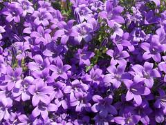 Purple Flowers (Joe Shlabotnik) Tags: flowers france purple 2007 faved april2007 montignylegannelon