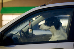 Dog Driver : Project365 : Photo 95 (grahamcase) Tags: oneaday photoaday dogincar pictureaday dogdrivingcar project365 dogprofile project36595 project36505022007