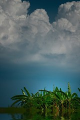 Swamped Banana Grove (lynne bernay-roman) Tags: clouds florida swamp bananatree outstanding supershot pahokee outstandingshots lightgrove westernpalmbeachcounty