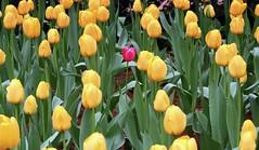 NY33 One in a Million (Pamela Lin Photography) Tags: pink flowers plants newyork green beauty yellow oneinamillion needleinahaystack thestruggleforexistence endlessformscharlesdarwinnaturalscienceandthevisualarts