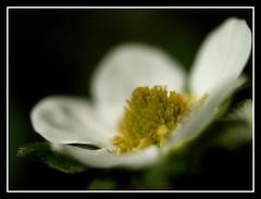 Strawberry flower (Kirsten M Lentoft) Tags: white flower macro garden jesters strewberry naturesfinest abigfave momse2600 kirstenmlentoft