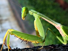 Praying Mantis (Mantodea) (Mangiwau) Tags: macro mantis insect java insects creepy breathtaking prayingmantis insectes mantid insecta naturesfinest serangga tangerang crawlies bintaro mantodea parkstock anawesomeshot wowiekazowie diamondclassphotographer flickrdiamond coolestphotographers buzznbugz