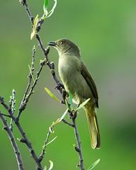 Sombre Greenbul (jeremyhughes) Tags: tree green bird leaves birds southafrica wildlife nikkor avian nikond200 kleinkaroo 300mmf4d gamkaskloof diehel sombregreenbul andropadusimportunus avianexcellence