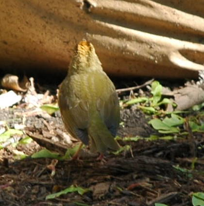 Ovenbird, rear view