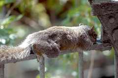 Napping Squirrel