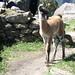 Bamba Llama