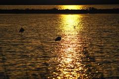 Flamingo sunset (Bagna [Smile is better, always and everywhere!]) Tags: sardegna sunset sea summer sun reflection beach nature sardinia sony flamingo natura piscina uccelli laguna sole acqua reggio poetto fenicotteri stagno bagna passeggiare passengiando alpha100
