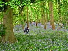 Rory in the Bluebells Flickering (Kristineinitaly) Tags: flowers trees bluebells woods norfolk worstead roarsthelion