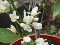 Lemon blossoms