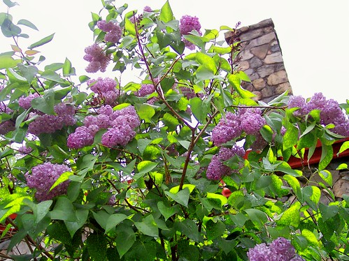 I love when the Lilacs are in bloom.