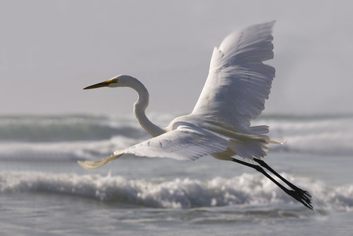 Great Egret (Ardea alba) on Morro Strand State Beach, CA