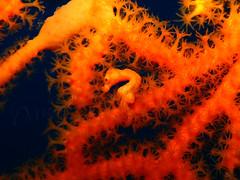 Denise Pygmy Seahorse: Comfortably Cosy