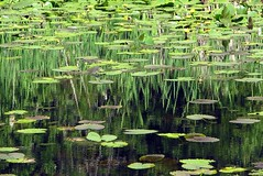 Ode To Monet (mistymisschristie) Tags: fab wow reflections wonderful pond awesome great stunning karma soe universityplace aclass naturesfinest grogeous theworldthroughmyeyes mywinners abigfave mistymisschristie top20green photosandcalendar searchandreward excellentphotographerawards thenaturegroup adrianahesswetlandpark onlythebestare odetomonet cmwdgreen overtheexcellence