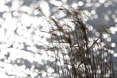 Pampas Grass - by mrhayata