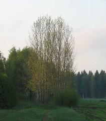 Haapoja (valonsa) Tags: spring colours may asp haapa kevt toukokuu vrit