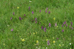 516574165 Green-winged_Orchid 2007-05-16_18:41:04 Murcott_Meadows